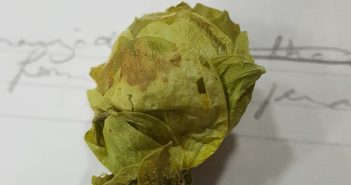 A flor de lúpulo